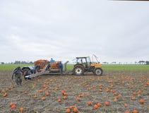 小组人在荷兰收获在领域的橙色南瓜在格罗宁根省  免版税库存图片