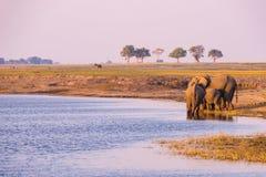 小组从Chobe河的非洲大象饮用水日落的 野生生物徒步旅行队和小船在乔贝国家公园巡航, 免版税图库摄影