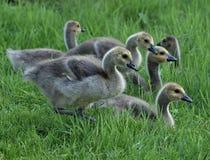 小组加拿大幼鹅 免版税库存图片