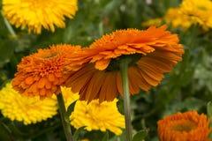 小组各种各样的橙色和黄色双重金盏草Officinalis 免版税库存图片