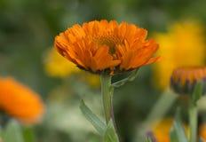 小组各种各样的橙色和黄色双重金盏草Officinalis 库存图片