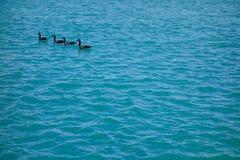 小组四只加拿大鹅在蓝色波浪水镇静地游泳 免版税库存照片