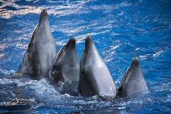 小组四只海豚在蓝色绿松石水中 免版税库存照片