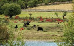 小组在一个绿色领域的牛由河 库存照片
