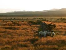 小组在一个草甸在日落期间,挪威的绵羊 免版税库存图片