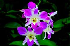 小组在分支的紫色兰花 库存图片