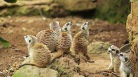 小组在动物园的meerkat 股票录像