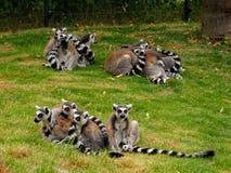 小组在动物园里lemuren在奥格斯堡在德国 免版税库存照片