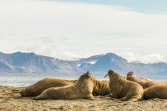 小组在卡尔王子岛的海象,斯瓦尔巴特群岛 免版税库存图片