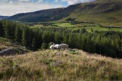 小组在小山的绵羊在苏格兰的高地 库存图片