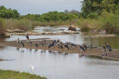 小组在小海岛上的鹳鹳在河,有绿色叶子的在背景中 图库摄影