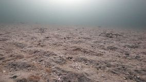 小组在巴伦支海一个离开的含沙底部的巨型螃蟹步行  股票视频