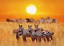 小组在日落的非洲斑马在塞伦盖蒂国家公园 闹事 坦桑尼亚 艺术性的非洲自然图象 图库摄影