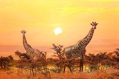小组在日落背景的长颈鹿 免版税图库摄影