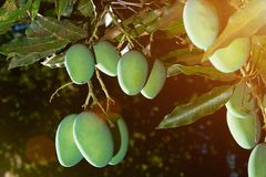 小组在树枝的芒果吊 免版税库存图片