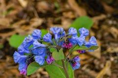 小组在森林地板上的弗吉尼亚会开蓝色钟形花的草 免版税库存图片
