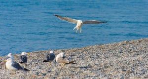 小组在海滩的海鸥 图库摄影