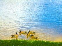 小组在湖的鸭子 免版税库存照片