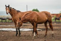 小组在牧场地的美丽的幼小马在动物农场中或大农场、农村家畜或者农田 免版税库存图片