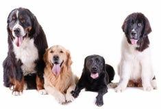小组在白色背景前面的另外品种狗 免版税图库摄影