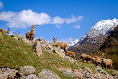 小组在石头的成人高地山羊与长的垫铁在一夏天好日子 大帕拉迪索山国立公园动物区系,意大利 免版税库存照片