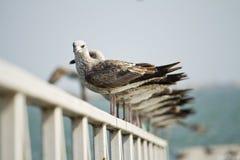 小组在码头的海鸥 图库摄影