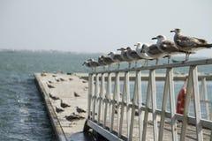 小组在码头的海鸥 库存照片