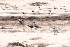 小组在缓慢地Cayo海岛的海滩Playa天堂的鸥,古巴 复制文本的空间 免版税库存图片