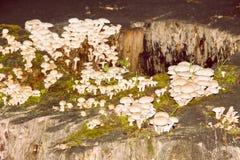 小组在老树桩的毒蘑菇 图库摄影