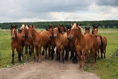 小组在草甸的野生自由连续棕色马,站立肩并肩看在照相机前面 库存照片