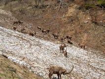 小组在雪原的高山高地山羊在伪装自己与残骸肮脏的雪的春季 意大利, Orobie阿尔卑斯 免版税库存照片