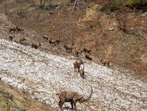 小组在雪原的高山高地山羊在伪装自己与残骸肮脏的雪的春季 意大利, Orobie阿尔卑斯 免版税图库摄影