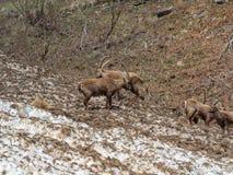 小组在雪原的高山高地山羊在伪装自己与残骸肮脏的雪的春季 意大利, Orobie阿尔卑斯 免版税库存图片