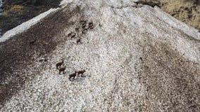 小组在雪原的高山高地山羊在伪装自己与残骸肮脏的雪的春季 股票录像