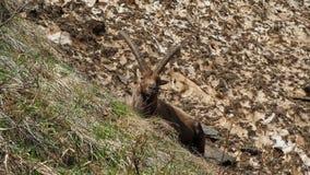 小组在雪原的高山高地山羊在伪装自己与残骸肮脏的雪的春季 股票视频