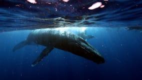 小组在驼背鲸母亲附近的潜水者和在水附近的幼小小牛浮出水面 股票录像