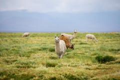 小组在Altiplano的骆马在玻利维亚 免版税库存图片