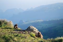 小组在Simien山的Gelada猴子,埃塞俄比亚 库存图片