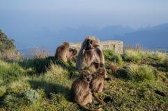 小组在Simien山的Gelada猴子,埃塞俄比亚 免版税库存图片