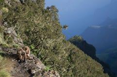小组在Simien山的Gelada猴子,埃塞俄比亚 免版税图库摄影