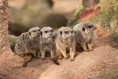 小组在termitary的注意meerkats 免版税库存照片