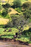 小组大象临近河 Tarangire,坦桑尼亚 库存照片