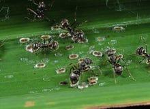 小组宏观照片与介壳虫的黑庭院蚂蚁 库存照片