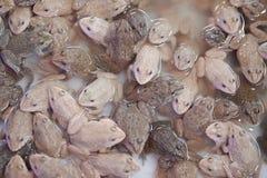 小组小青蛙 免版税库存图片