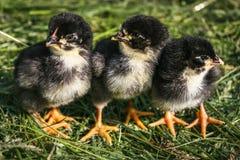 小组小黑小鸡 免版税库存照片