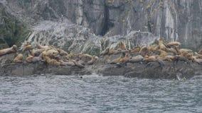 小组居住在石海岛上的海狮在太平洋 野生海洋动物 股票视频