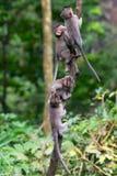 小组幼小猴子在Ubud密林爬上一棵稀薄的树 猴子克服困难 免版税库存图片