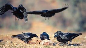 小组掠夺乌鸦座corax坐牺牲者 免版税库存照片