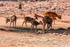 小组接近的看法站立在一个树阴影下的Thamin鹿在一个公园 库存照片