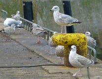 小组放松在港口的海鸥 免版税库存照片
